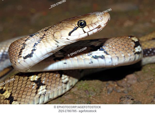 Montane Trinket Snake (Coelognathus helena monticollaris), Non-venomous this snake kills by constriction. Prefers forests but may frequently venture towards...