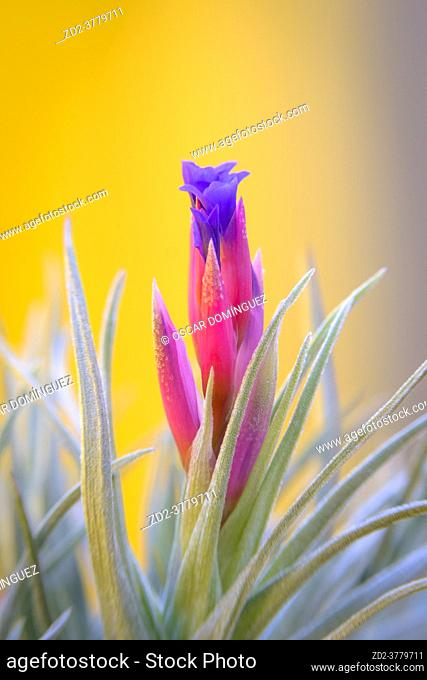 Tillandsia genus flower, a family of epiphytic plants from the family Bromeliaceae, popularly known as airplants because they use their small roots as a...