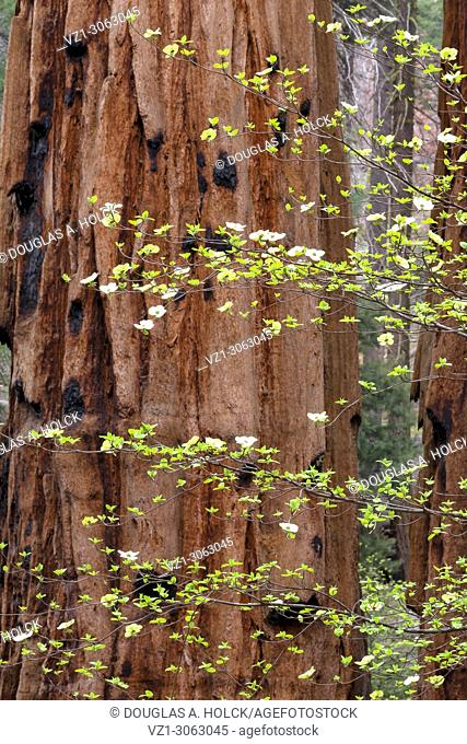 Giant Sequoia and Dogwood Blossoms, Sequoia National Park, California, USA