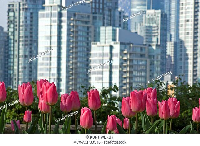 Tulips and a view of downtown from Choklit Park, Vancouver, British Columbia, Canada
