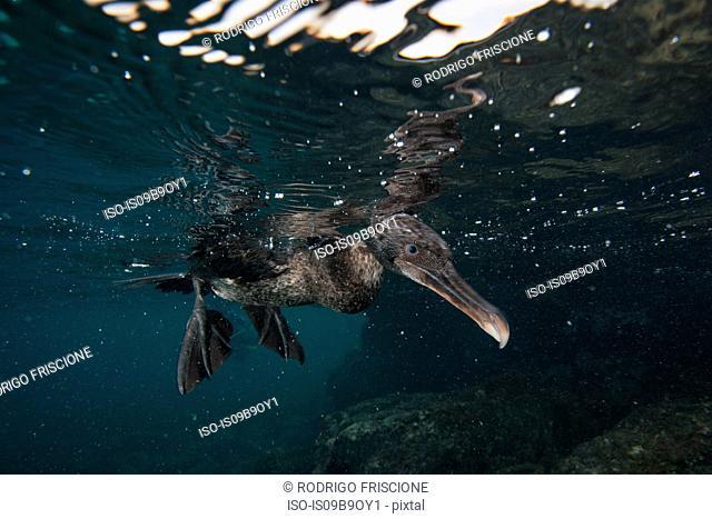 Underwater view of flightless cormorant looking for prey below surface, Seymour, Galapagos, Ecuador, South America