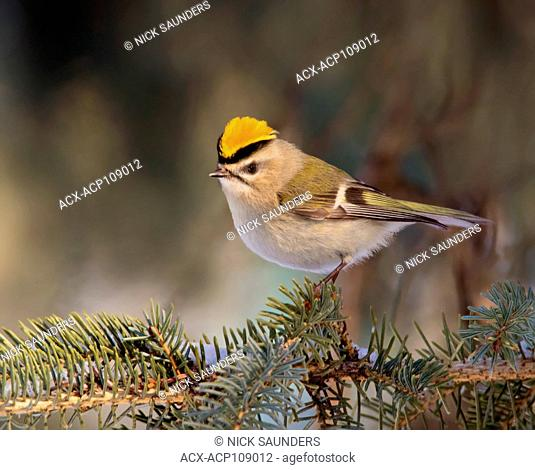 A male Golden-crowned Kinglet, Regulus satrapa, perched on a branch in Saskatoon, Saskatchewan, Canada