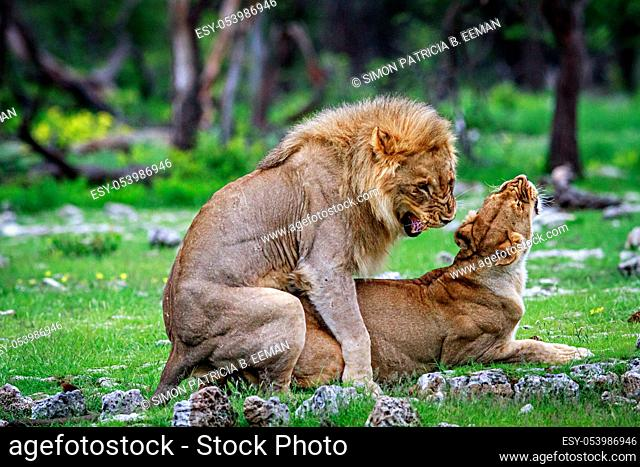 Mating Lions in the Etosha National Park, Namibia