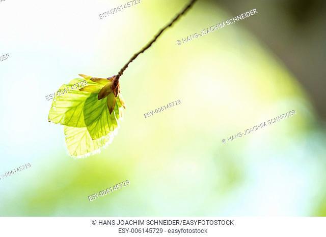 Soft birch leaves in spring