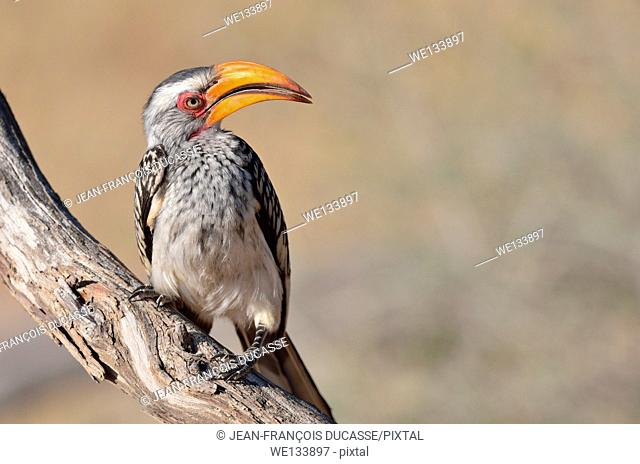 Southern Yellow-billed Hornbill (Tockus leucomelas), perched on a branch, Kgalagadi Transfrontier Park, Northern Cape, South Africa, Africa