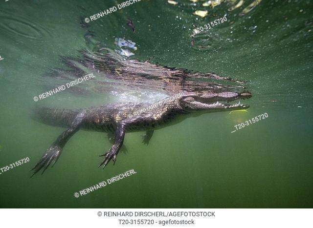 Juvenile American Crocodile, Crocodylus acutus, Florida, Everglades, USA