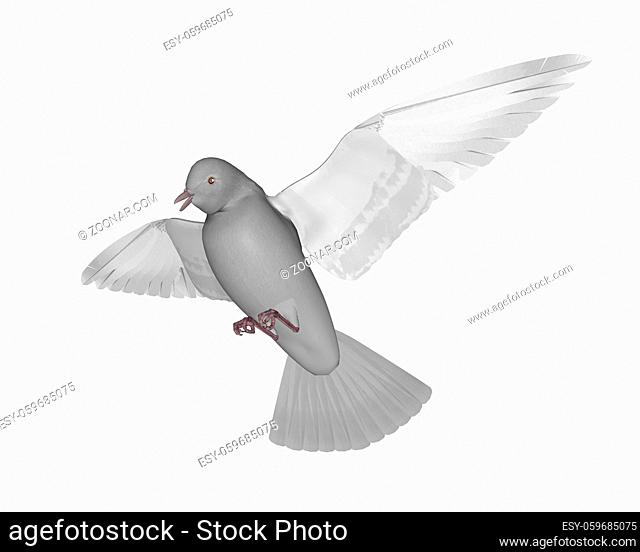 Pigeon flying isolated in white background - 3D render