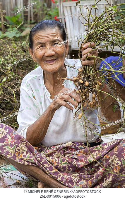 Local old Burmese woman in small town outside of Bagan Myanmar picking peanuts