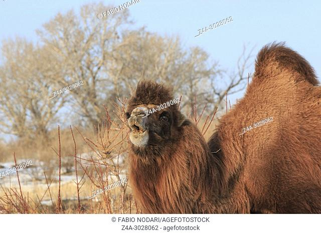 Two-humped Bactrian Camel in Xinjiang, China (Camelus bactrianus)
