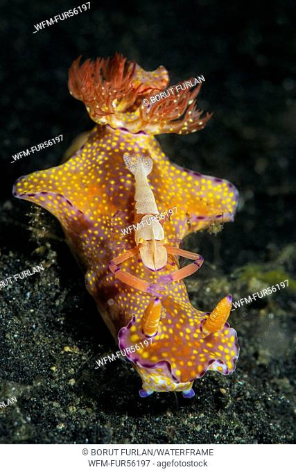 Emperor Shrimp on T-bar Nudibranch, Periclimenes imperator, Ceratosoma tenue, Lembeh Strait, North Sulawesi, Indonesia