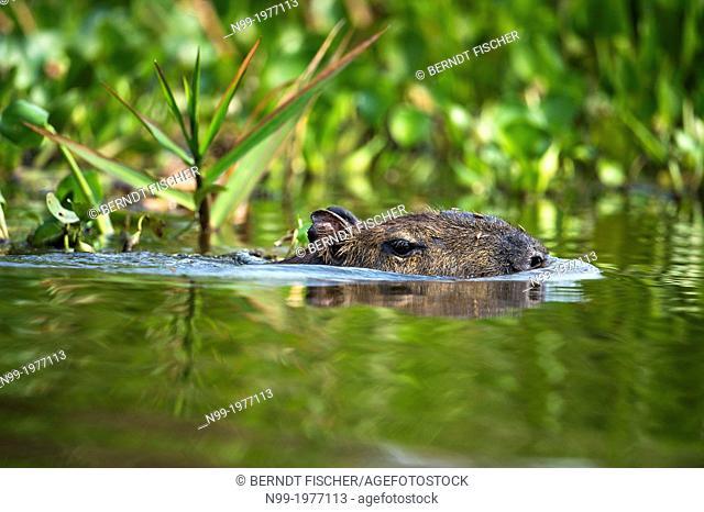 Capybara (Hydrochoerus hydrochaeris), swimming, Pantanal, Brazil