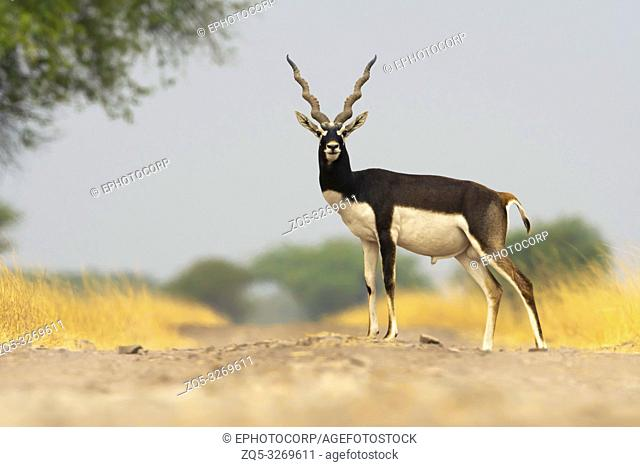 Blackbuck male, Antilope cervicapra ,Blackbuck National Park, Velavadar, Gujarat, India