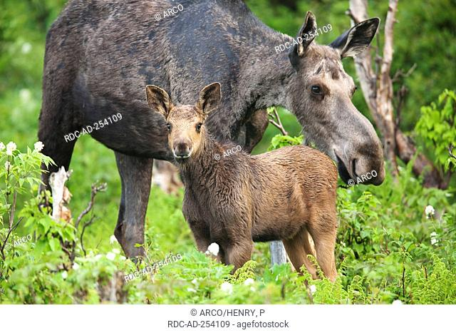 Moose female with young Gaspesie national park Quebec Canada Alces alces