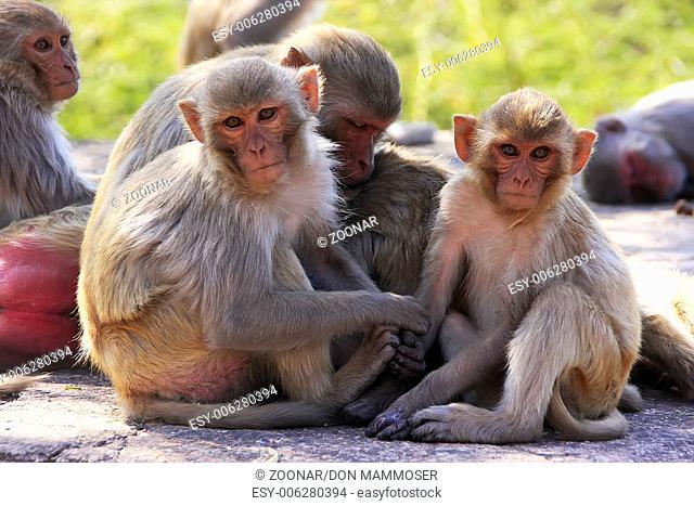 Rhesus macaques (Macaca mulatta) sitting at Taraga