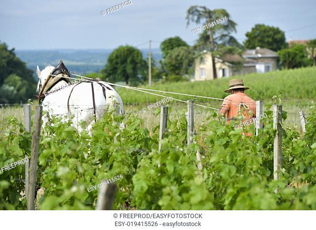 Labour Vineyard with a draft white horse-Saint-Emilion-France