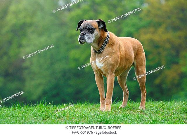 old German Boxer