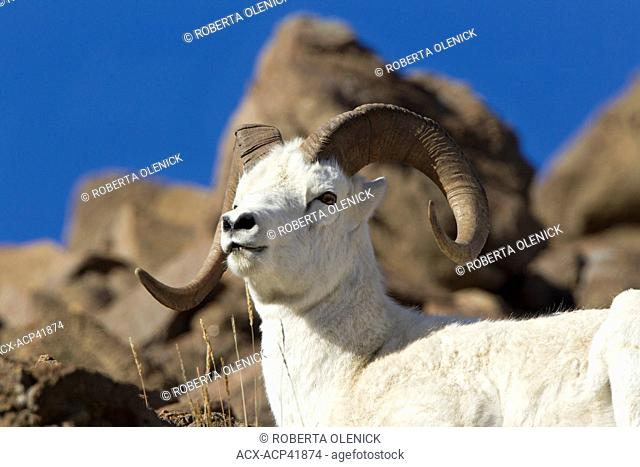 Dall sheep Ovis dalli dalli, ram, Polychrome Pass, Denali National Park, Alaska, United States of America