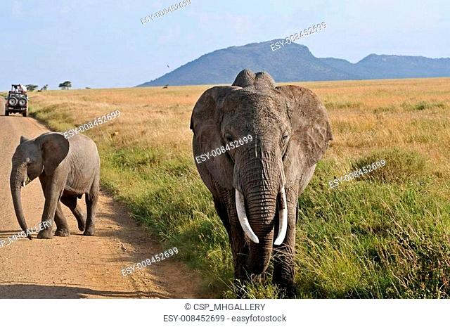 elephant, tusk and herd
