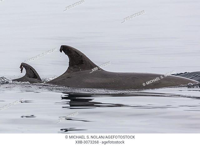 Barnacles on the dorsal fins of Common bottlenose dolphin, Tursiops truncatus, Isla San Marcos, BCS, Mexico