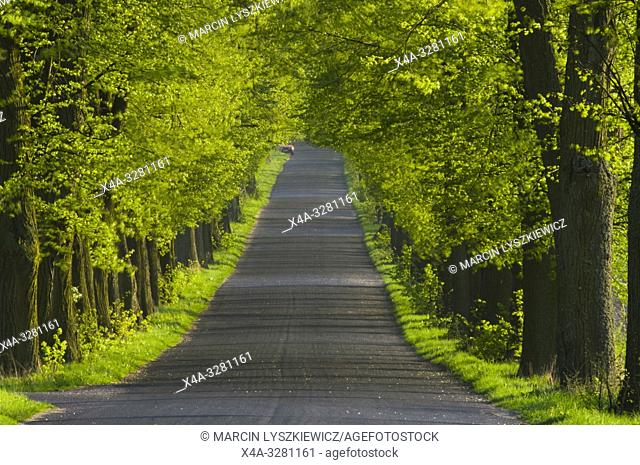 lime tree alley, Kujawy region, Poland