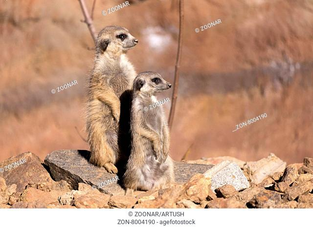 female of meerkat or suricate watching out for danger