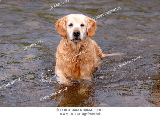 bathing Golden Retriever