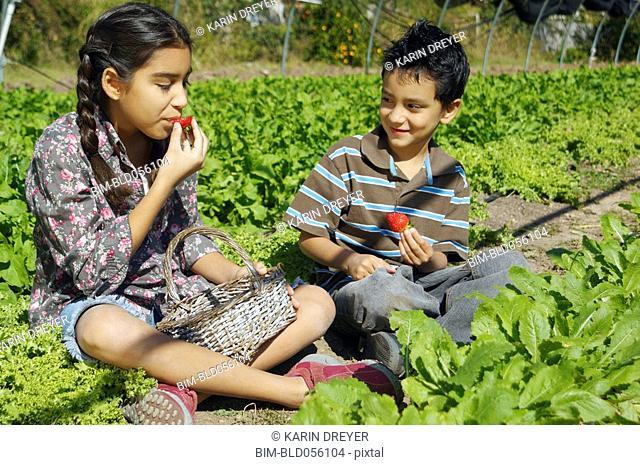 Hispanic siblings picking organic strawberries