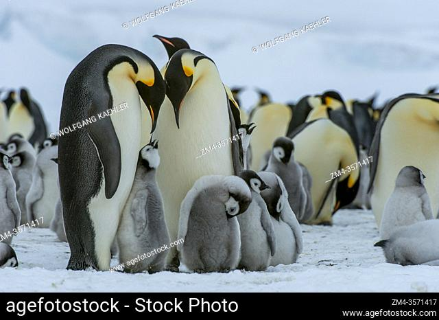 Emperor penguins (Aptenodytes forsteri) with chicks on the sea ice at Snow Hill Island in the Weddell Sea in Antarctica