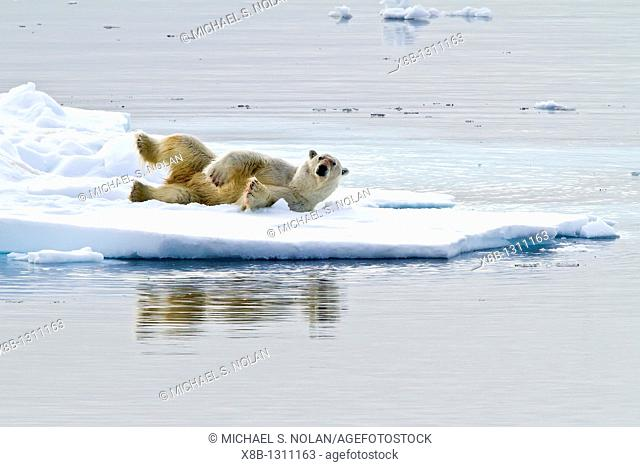Adult polar bear Ursus maritimus feeding on seal carcass on multi-year ice floes off the coast of Edgeøya Edge Island in the Svalbard Archipelago
