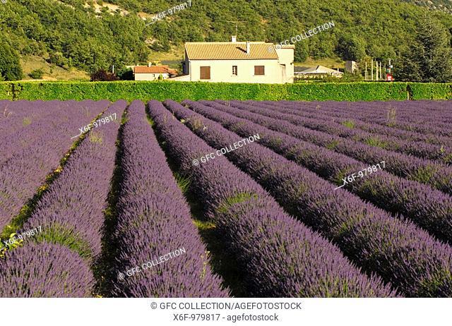 Cultivation of Lavender Lavandula angustifolia, Provence, France
