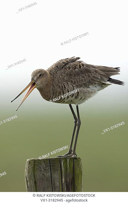 Black tailed Godwit ( Limosa limosa), adult in breeding dress, perched on an old fencepost, watching above its territory, calling, warning, Europe