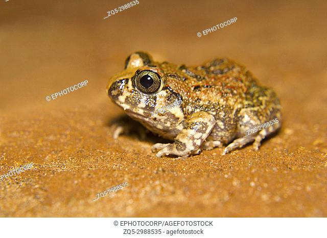 Indian Burrowing Frog. Sphaerotheca breviceps. Bangalore, Karnataka, IndiaDescription : this is a small light brown/olive frog with darker spots or marblings