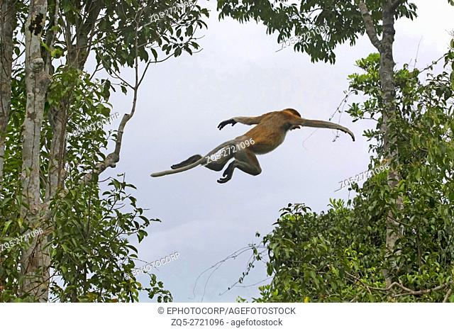A leap of proboscis monkey (Nasalis larvatus) or long-nosed monkey, Indonesia. It is known as the bekantan in Indonesia, is a reddish-brown arboreal Old World...