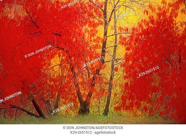 Pincherry trees with autumn foliage (composite image), Sudbury, Ontario, Canada