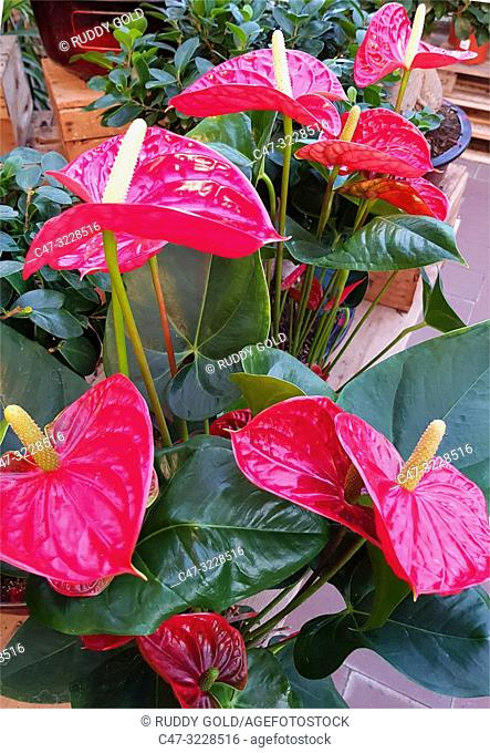 anthurium plant and flowers in a Garden center. The anthurium plant is grown as a houseplant in cooler areas and as a landscaping plants. Barcelona