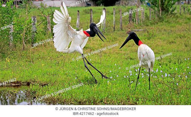 Jabiru (Jabiru mycteria), couple in a meadow, chasing, Pantanal, Mato Grosso, Brazil, South America