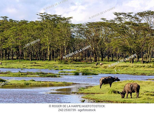 African buffalo or Cape buffalo (Syncerus caffer). Lake Nakuru. Nakuru. Great Rift Valley. Kenya
