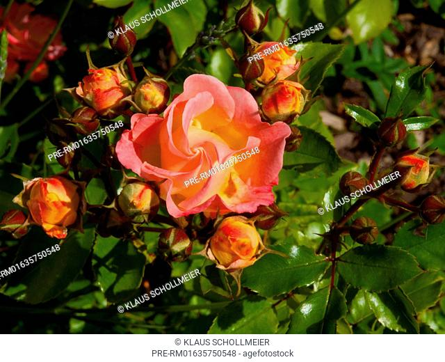 Yellow-pink Rose / Gelbrosane Rose