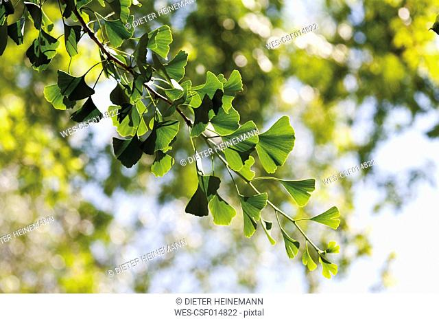 Germany, View of ginko tree, close up