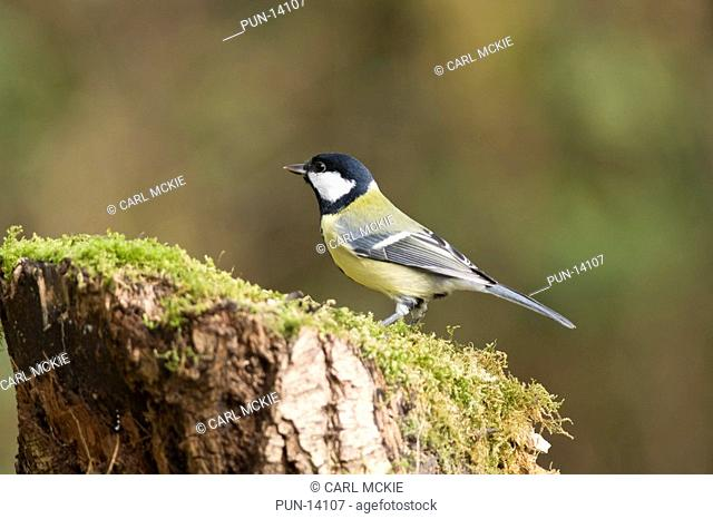 Great tit Parus major on moss covered tree stump in the Lee Valley Park, England