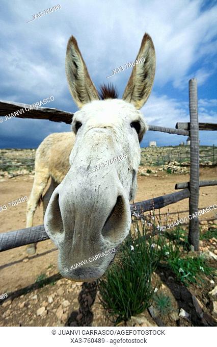 Donkey. Cabo de Gata-Nijar Biosphere Reserve, Almeria province, Andalucia, Spain