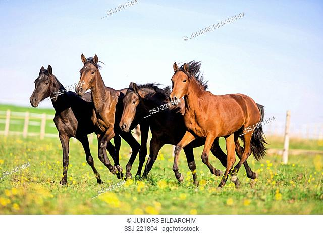 Pure Spanish Horse, Andalusian. Juvenile bay mares galloping on a pasture. Germany
