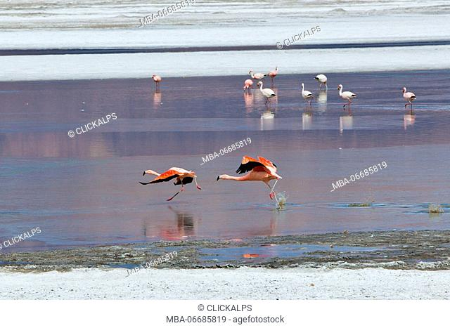 Pair of flamingos attempting take off from the surface of the Salar de Surire Natural Monument. Chile. South America