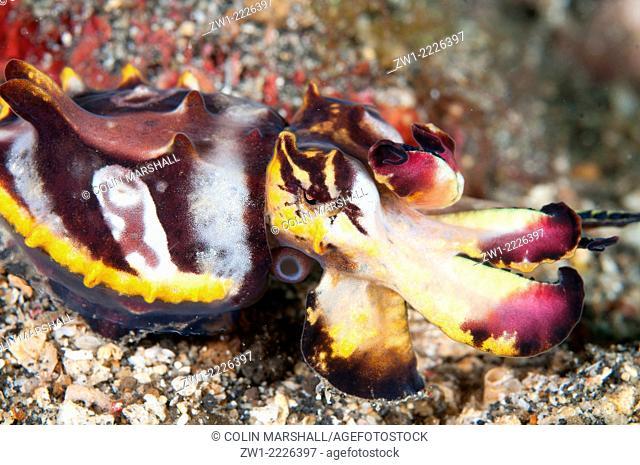 Pfeffer's Flamboyant Cuttlefish (Metasepia pfefferi), Jahir, Makawide dive site, Lembeh Straits, Sulawesi, Indonesia