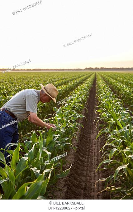 Farmer checking for signs of insect pest damage and leaf disease, knee high conventional till corn; England, Arkansas, United States of America