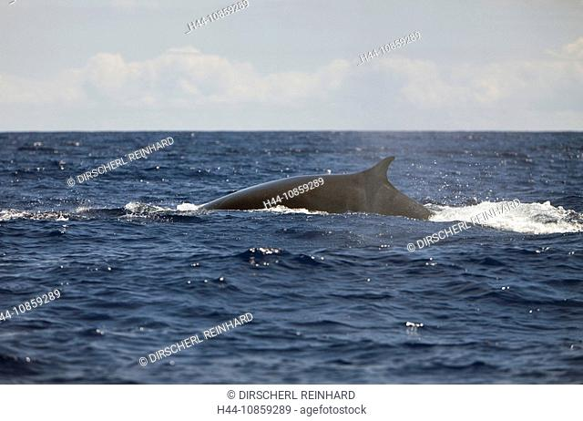 Fin Whale, Balaenoptera physalus, Portugal, Azores