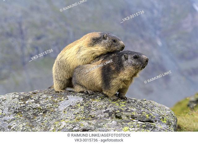 Alpine Marmot, Marmota marmota, two adult, Hohe Tauern National park, Austria