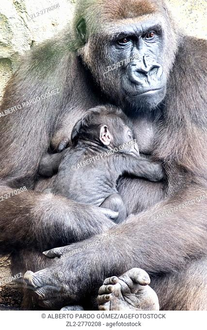 Mama gorilla with her baby