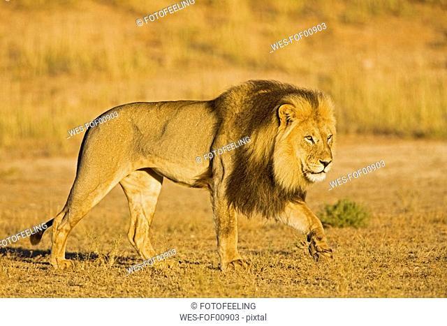 Africa, Namibia, Lion Panthera leo in grass