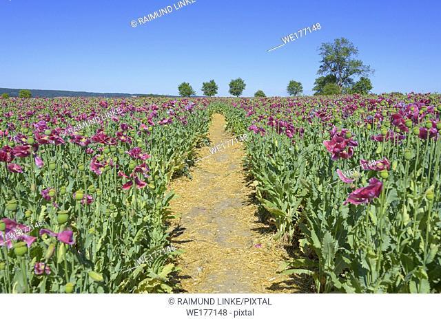 Opium poppy field with path, Grandenborn, Ringgau, Werra-Meissner district, Hesse, Germany
